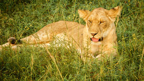 Young lion laid down looking at camera, tongue out Stock Images
