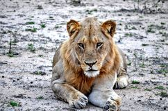A young lion. Laying down in kruger par south africa Stock Images