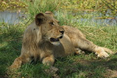 Young lion laying in the grass. Young Lion enjoying laying there after the night kill royalty free stock photos