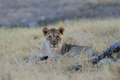 Young lion look curious, etosha nationalpark, namibia Stock Photo