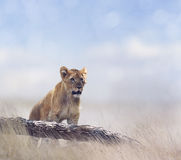 Young Lion Looking Royalty Free Stock Photography