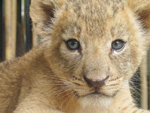 Young Lion, Looking at You. 1 month old, in the zoo Stock Image
