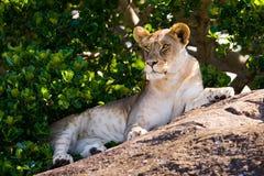 Young lion lying on a big rock. National Park. Kenya. Tanzania. Masai Mara. Serengeti. Stock Image
