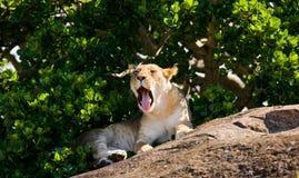 Young lion lying on a big rock. National Park. Kenya. Tanzania. Masai Mara. Serengeti. Royalty Free Stock Photos