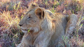 Young lion lying in the grass stock footage