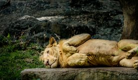 Young lion lying Royalty Free Stock Images