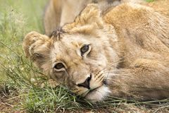 Young lion in Africa savannah. Royalty Free Stock Image