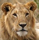 Young lion male, Masai Mara, Kenya Stock Images