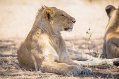 Young lion male rests in Serengeti Stock Photography