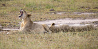 Young lion male yawn while lying down and rest. Young lion male yawn while lying down to rest Royalty Free Stock Photography