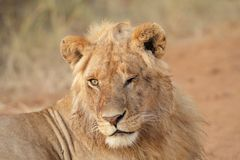 Young lion in Masai Mara royalty free stock image