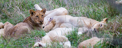 Young Lion Nursing in a Litter of Cubs Royalty Free Stock Photography