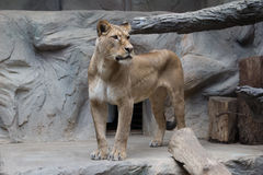 Young lion Stock Photo