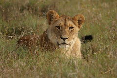 Young Lion (Panthera  leo). In long grass Stock Photography