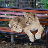 A young lion play Royalty Free Stock Images