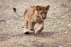 A young lion play Stock Photo