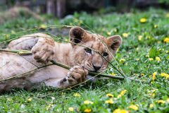 A young lion Stock Photo