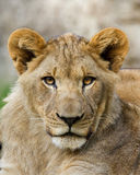 Young Lion. A portrait of a young lion roughly 1 year old Royalty Free Stock Images