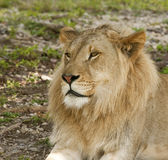 Young Lion Profile. Profile of a young male lion stock photos