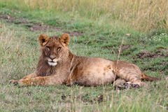 Young lion reclining. A young lion Panthera leo lies in the grass. Ol Pejeta Conservancy, Kenya Stock Photography