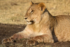 Young lion resting after a meal Royalty Free Stock Image