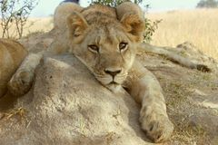Young lion resting on a misty day 2. Young lion resting on a termite mound Royalty Free Stock Photography