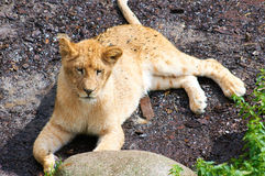 Young lion resting Stock Photography