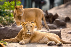 Young lion resting Royalty Free Stock Photography