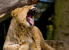 Young lion roaring Royalty Free Stock Images