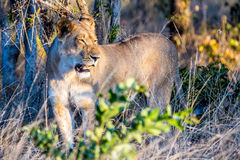 Young lion roaring in the Chobe National Park in Botswana. Africa Royalty Free Stock Photos