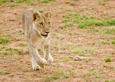 Young lion on the run. Attacking wild dogs which try to drink from a nearby waterhole royalty free stock images