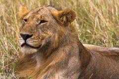 Young lion in the savannah. King in future. Masai Mara, Kenya Stock Photo