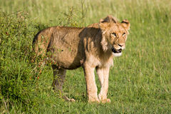 Young Lion in the Savannah Stock Images