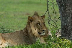 Young lion in the shade Stock Photography