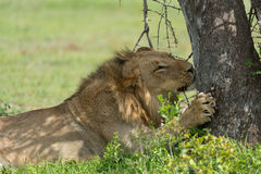 Young lion sharpening claws Stock Photos