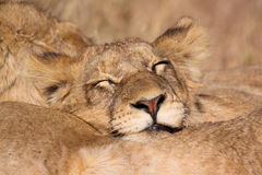 Young lion sleeping Royalty Free Stock Photos