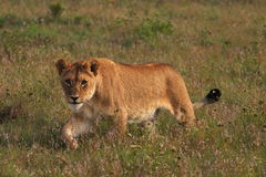 Young lion stalking. Through the grass stock images