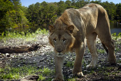 Young Lion stalks by lake, composite Stock Image