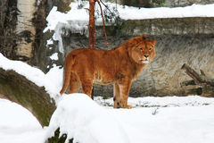 Young lion. Standing on a snow winter Stock Image