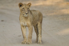 Young Lion standing in the track. Young Lion (Panthera leo) standing in the track Royalty Free Stock Photography