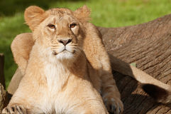 Young Lion. In the Sunset royalty free stock image