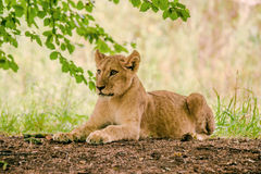 Young lion taken a rest Royalty Free Stock Photos