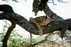 Young lion on a tree. 2 Royalty Free Stock Images