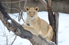 Young lion in tree Royalty Free Stock Images