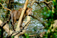 Young Lion in Tree Royalty Free Stock Photography