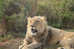 Young lion trying to roar. A young lion laying relaxed on the ground in the Limpopo province, South Africa stock photo