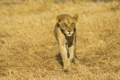 Young Lion. Walking in Mikumi National Park, Tanzania Royalty Free Stock Photography