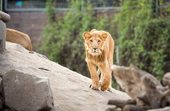 Young lion walking in zoo Royalty Free Stock Photos