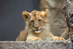 Young lion in the wild Royalty Free Stock Image