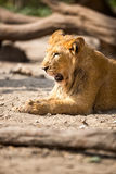 Young lion yawning Stock Image